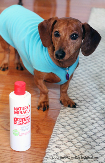 Natural Pet Carpet Cleaner // Ammo the Dachshund