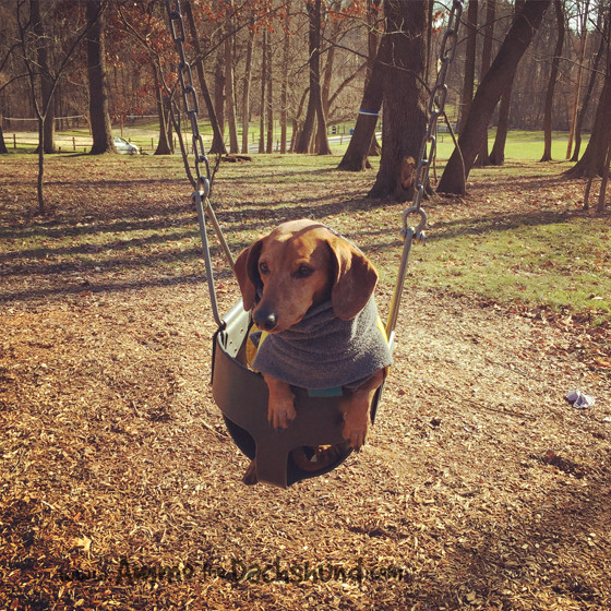 Dachshund Goes to Playground and Loves it // Ammo the Dachshund
