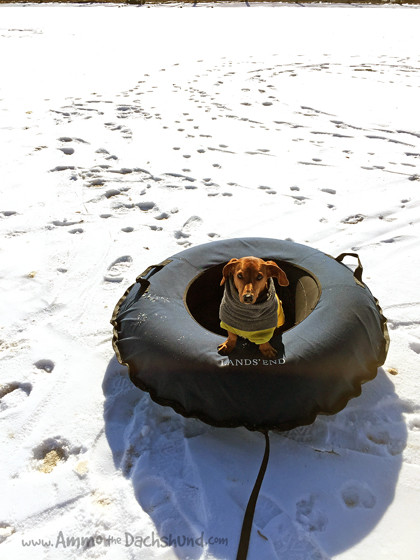 Ammo the Dachshund // Sledding with Ponies