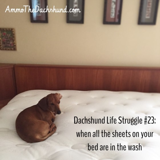 Dachshund Life Struggle // The Struggle is Real // Ammo the Dachshund