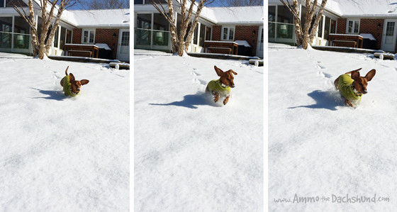 Adventures in the Snow // Ammo the Dachshund