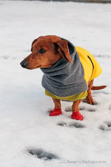 Paws Jaws Review & Giveaway // Ammo the Dachshund