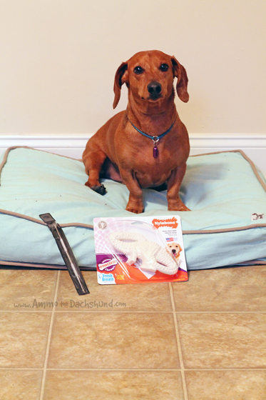 How to Maintain your Dog's Teeth // Ammo the Dachshund // Pet Dental Health Month