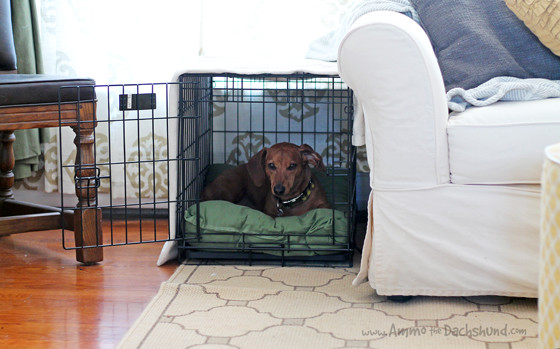Tips on Crate Training Your Adult Dog #CrateHappyPets // Ammo the Dachshund For Petsmart