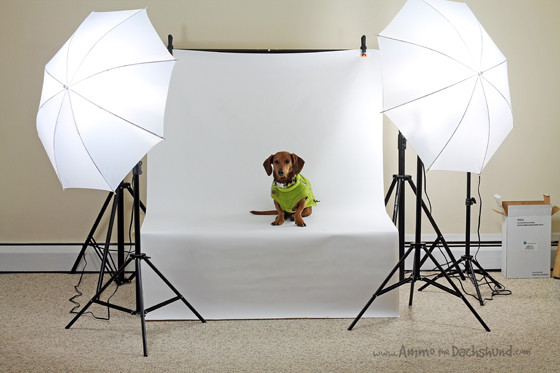 Photographer's Muse // Ammo the Dachshund