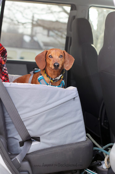 Train Your Dog to Get in the Car // Ammo the Dachshund