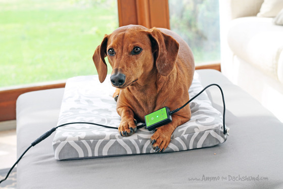 Thermos Heated Pet Bed Review & Giveaway // Ammo the Dachshund