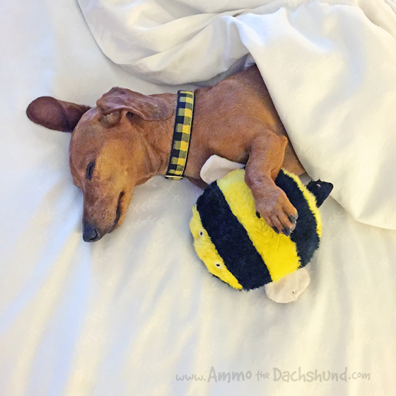 PetSafe at BlogPaws 2015 with Ammo the Dachshund