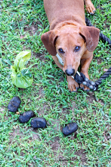 Picking up Poop with Earth Rated // Ammo the Dachshund