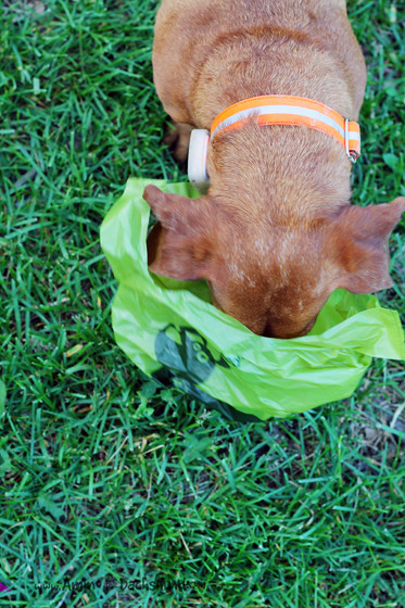 Earth Rated Scented Dog Poop Bags // Review and Giveaway // Ammo the Dachshund