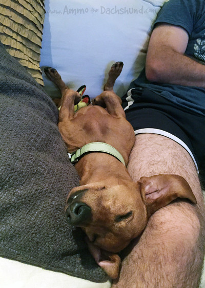 Oh The Places You Sleep: Vol. 3 with Ammo the Dachshund