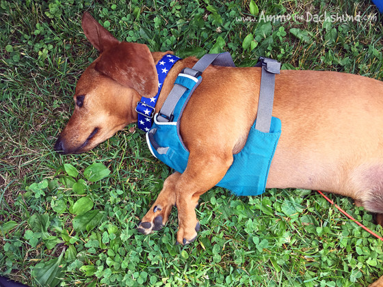 Oh the Places You Sleep // Ammo the Dachshund
