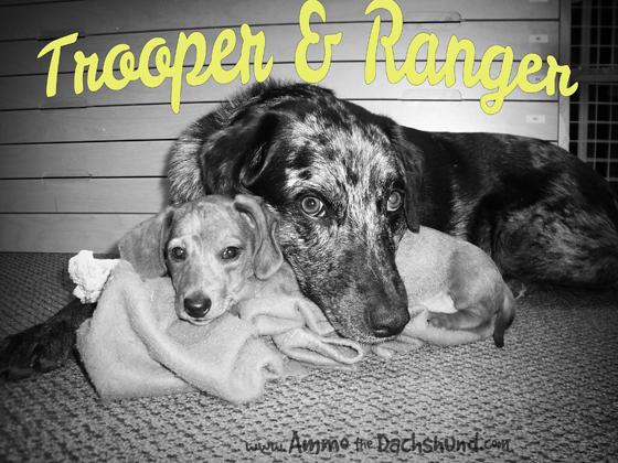 How Ammo Got His Name - Trooper and Ranger - Puppy