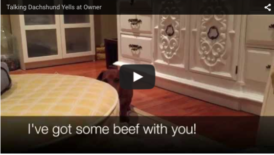 When your Dog Barks and Yells at You! Ammo the Dachshund