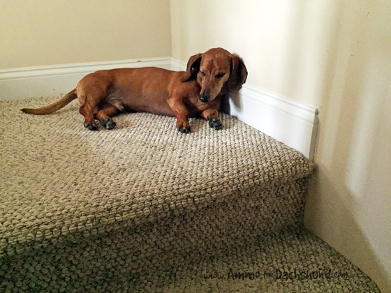 Oh The Places You Sleep: Vol. 4 with Ammo the Dachshund