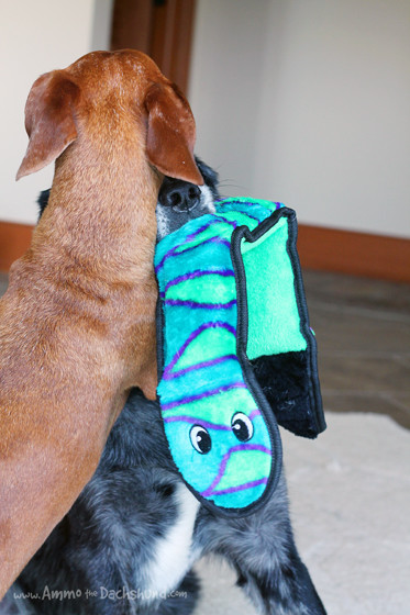 Ammo & Trooper Wrestle with their new Outward Hound Toy