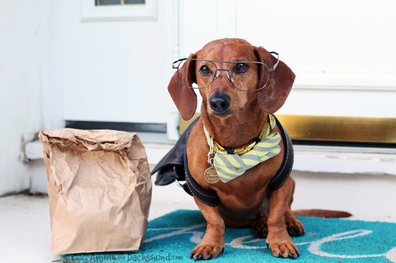 Ammo the Dachshund gets ready for the First Day of School