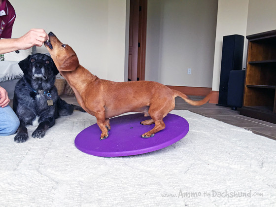 How to Keep Your Dog Fit with a Wobble Board + A Giveaway with the Dog Agility Shop