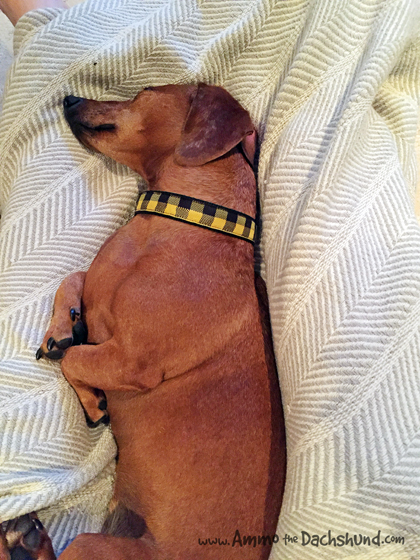 Oh The Places You Sleep: Vol. 5 with Ammo the Dachshund