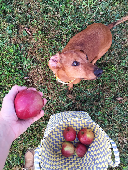 Picking Apples with Adorable Ammo the Dachshund