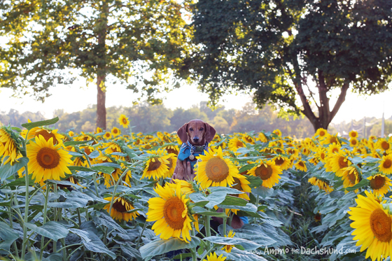 The Happiest Place on Earth - Ammo the Dachshund visits a Sunflower field