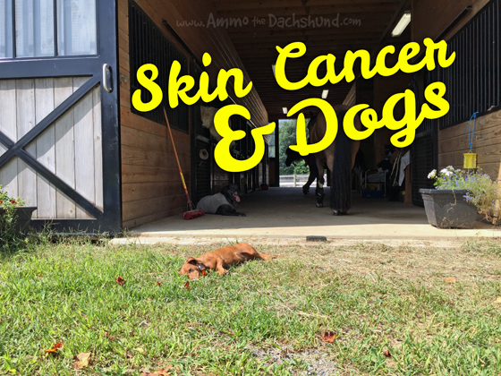 Skin Cancer and Dogs. What to look for and should you be worried?