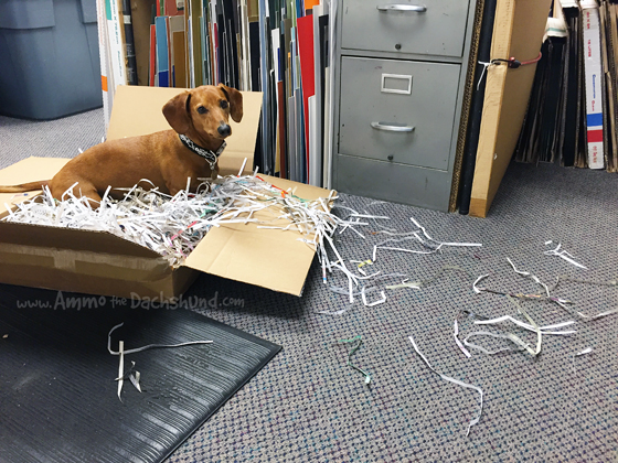 Shipping & Receiving with a Dachshund