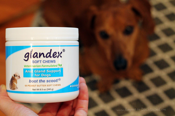 #BootTheScoot Ammo the Dachshund Tests Glandex, an Anal Gland Supplement