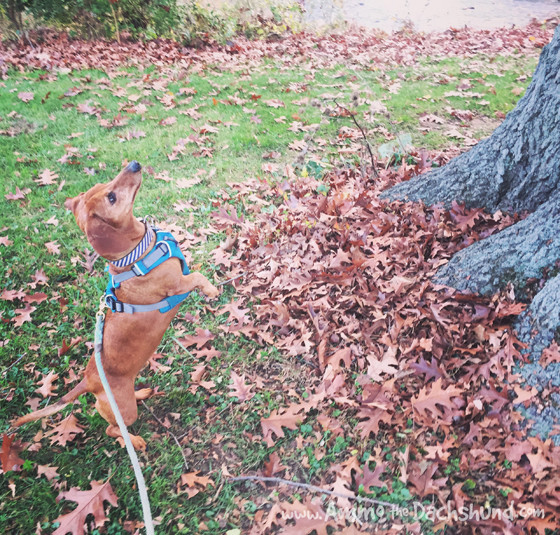Ammo the Dachshund Chases Squirrels up Trees